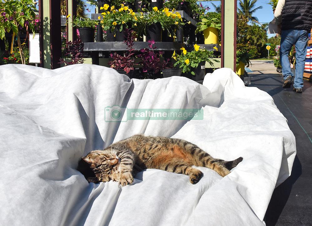 January 3, 2018 - Florida, U.S. -  BooBoo, the nursery cat is blissfully unaware of the cold weather approaching and finds a comfortable spot on top of the frost proof coverings that will be used to protect the plants. Giverny Gardens in Jupiter prepares for the cold weather moving in Wednesday morning. (Credit Image: © Melanie Bell/The Palm Beach Post via ZUMA Wire)