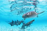 nurse sharks, Ginglymostoma cirratum, Belize, Central America ( Caribbean Sea )