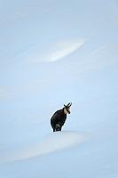 10.11.2008.Chamois (Rupicapra rupicapra).Gran Paradiso National Park, Italy