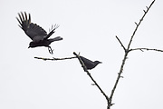 Two American crows (Corvus brachyrhynchos) trade places on a bare branch near the top of a tree in Snohomish County, Washington.
