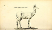 female Fallow Deer from General zoology, or, Systematic natural history Vol II Part 2 Mammalia, by Shaw, George, 1751-1813; Stephens, James Francis, 1792-1853; Heath, Charles, 1785-1848, engraver; Griffith, Mrs., engraver; Chappelow. Copperplate Printed in London in 1801 by G. Kearsley