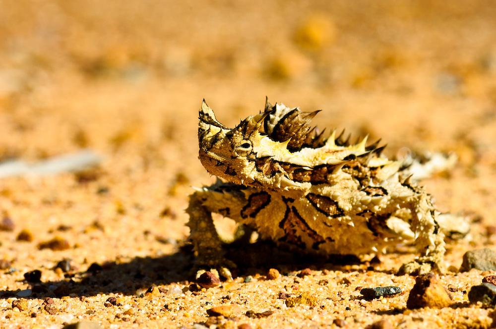 Stock photograph of a Thorny Devil (Moloch horridus) camouflaged against the stony ground of the Kalbarri bush, Australia