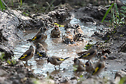 European goldfinch (Carduelis carduelis) bathing in a water pudlle Photographed in israel in September