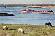 Nederland, Millingen, 27-2-2019Gelderse Poort langs de Rijn, Waal, ter hoogte van Millingen en Pannerdense Kop. Een binnenvaartschip beladen met kolen vaart richting Duitsland, een groep wilde konikpaarden staat in de uiterwaarden te grazen .Foto: Flip Franssen