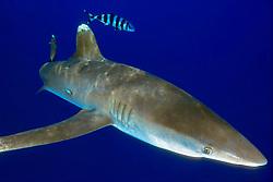 oceanic whitetip shark, Carcharhinus longimanus, with pilot fish, Naucrates ductor, off Kona Coast, Big Island, Hawaii, Pacific Ocean