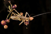 Katydid (Tettigoniidae) eating fruit<br /> Yasuni National Park, Amazon Rainforest<br /> ECUADOR. South America