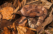 Amazon hognosed pitviper (Porthidium hyoprora)<br /> Pastaza-Amazon rain forest, ECUADOR,  South America<br /> Geographic range: Low elevation of Equatorial forests of Amazon Basin from Colombia, E Ecuador, Peru, Bolivia and W Brazil.<br /> Habitat: Found on leaf litter of very humid tropical forest floors near water. They have a non-prehensile tail and are terrestrial.<br /> Venomous. Only hognosed pitpiver found in the Amazon