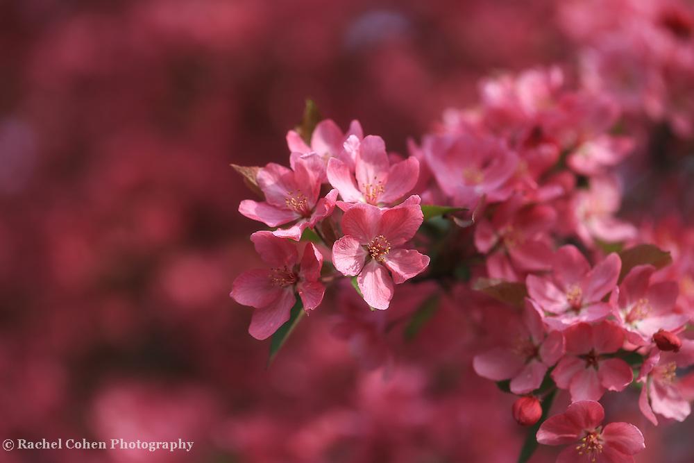 """Flowering Crabapple"""