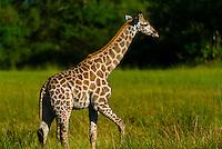 A baby giraffe (calf), near Kwara Camp, Okavango Delta, Botswana.
