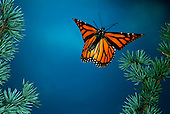 Lifecycle - Monarch Butterfly