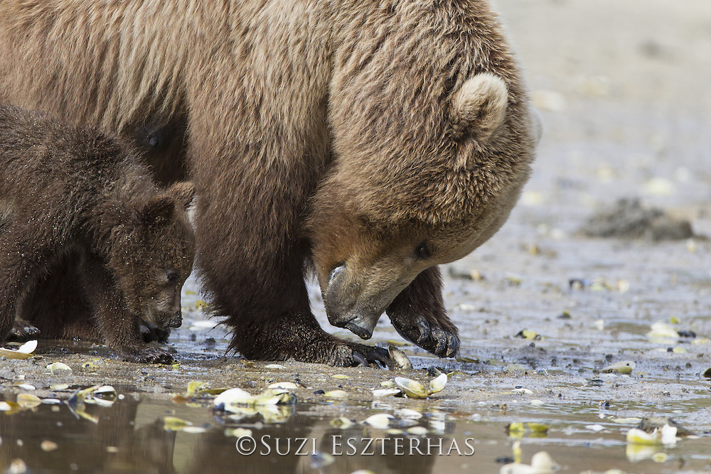 Brown Bear<br /> Ursus arctos <br /> Mother and 3-4 month old cub foraging for clams<br /> Katmai National Park, AK