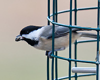 Black-capped Chickadee (Poecile atricapillus). Image taken with a Fuji X-H1 camera and 200 mm f/2 lens + 1.4x teleconverter.