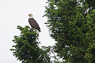 An adult Bald Eagle (Haliaeetus leucocephalus) is perched in a Douglas Fir tree along the Hood Canal of Puget Sound, Washington, USA