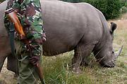 White rhinoceros (Ceratotherium simum),  Masai Mara, Kenya.