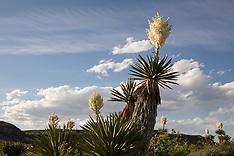 Giant Dagger Yucca