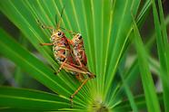 Grasshoppers & Locusts