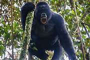A wild and non-habituated dominant silverback mountain gorilla (Gorilla beringei beringei) making threat vocalizations during a mock-charge, ,Bwindi Impenetrable Forest, Uganda, Africa