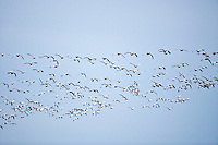 flying flock of Snow Geese (Chen caerulescens)  at Fir Island, Skagit River delta, Puget Sound, Washington, USA