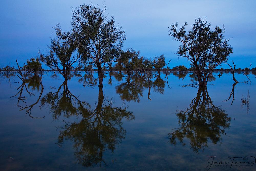 Flooded trees in Cooper Creek reflect in water in blue light of dusk,.Cooper Creek, South Australia, Australia