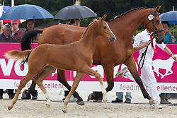 117 -G Star<br /> KWPN Paardendagen 2011 - Ermelo 2011<br /> © Dirk Caremans
