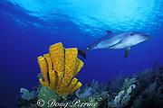 bottlenose dolphin, Tursiops truncatus, and tube sponges, Aplysina fistularis, Cayman Brac, Cayman Islands ( Caribbean Sea )