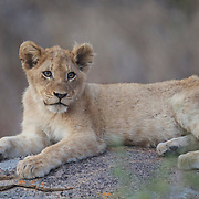 Young African lion cub on rocks. South Africa