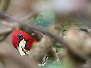 Red-headed Barbet (Eubucco bourcierii) in the gardens at Savegre Mountain Lodge and Nature Reserve, Costa Rica.