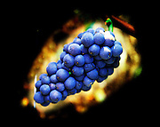 A colourful bunch of Pinot Noir grapes in a Chambertin grand cru vineyard in Bourgogne - against a black background. Bourgogne, Burgundy, Cote d'Or, France, Europe