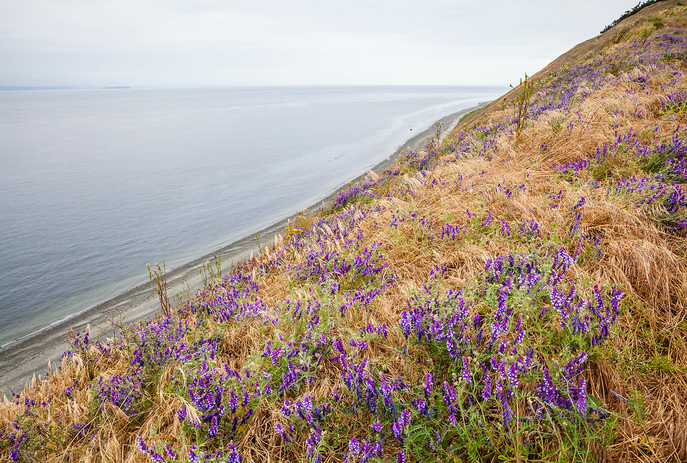 Wildflowers on Ebeys Bluff above the Strait of Juan de Fuca, Ebey's Landing National Historical Reserve, Whidbey Island, Washington, USA.