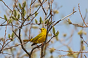 Yellow warbler (Setophaga petechia) in willow tree<br />Willow Island<br />Manitoba<br />Canada
