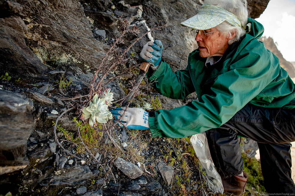 Carol Ralph, president of the North Coast Chapter of the Native Plant Society of California, replanting Dudleya farinosa into it's native habitat of steep coastal bluffs. Earlier in the month over 2000 plants were seized from poachers before export to Asian markets.