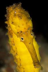 Eye-to-eye with a Tiger-tail Seahorse, Hippocampus comes.  Richelieu Rock, Thailand, Andaman Sea