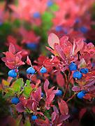 Blueberries in the fall near Park Butte in the Mount Baker Wilderness