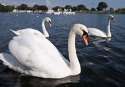 © Licensed to London News Pictures. 21/09/2016. Portsmouth, UK.  Swans on Southsea Canoe Lake in the warm and sunny afternoon in Southsea today, 21st September 2016. Photo credit: Rob Arnold/LNP