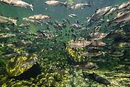 Chinook Salmom<br /> <br /> Fernando Lessa/Engbretson Underwater Photography