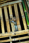 Captive long-tailed macaque (Macaca fascicularis), also known as the crab-eating macaque. Bali, Indonesia