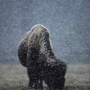 Bison (Bison bison) bull grazing in Yellowstone National Park during a snowfall. Wyoming.
