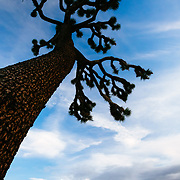 Silhouette of Joshua Trees (Yucca brevifolia) at sunset, Joshua Tree National Park, California USA.