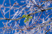 Mistletoe on frozen branch, San Bernardino National Forest, California USA