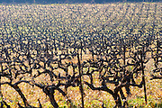 A vineyard with old vines  at Mas de Gourgonnier, in Les Baux de Provence, Bouche du Rhone, France
