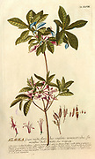 Coloured Copperplate engraving of an Azalea shrub from hortus nitidissimus by Christoph Jakob Trew (Nuremberg 1750-1792)