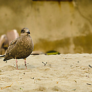 This is a very young gull looking out to sea on Cape Ann, MA.  He looks very intent on seeing the new day.