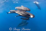 long-finned pilot whales, Globicephala melas, Straits of Gibraltar ( North Atlantic )