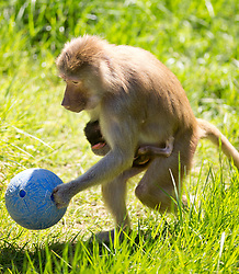 Maya, a seven-year-old hamadryas baboon, nurses her week-old infant in the baboon enclosure, even as she forages for food (hidden inside the blue ball, thrown into the enclosure by zookeepers) at the Oakland Zoo, Tuesday, April 16, 2013 in Oakland, Calif. (D. Ross Cameron/Staff)
