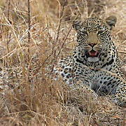 Leopard in Londolozi Private Game Reserve. South Africa.