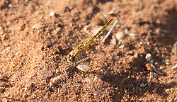 A dragonfly in the mangroves.  Dragonflies are thought to signify the beginning of the dry season.