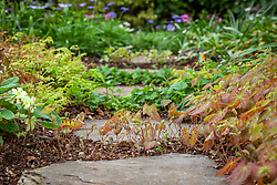 Stepping stone path with spreading woodland flowers including Primula vulgaris, tellimas, ferns and epimediums