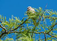 A Eurasian Collared Dove, Streptopelia decaocto, perches in a Mesquite tree in the Desert Botanical Garden, Phoenix, Arizona