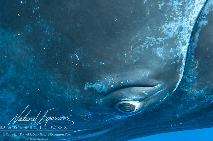 Humpback Whale (Megaptera novaeangliae) underwater in the Caribbean Ocean. February.
