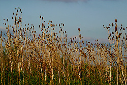 teasel Dried weeds